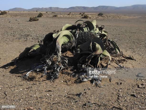 Welwitschia mirabilis in the Namibian desert