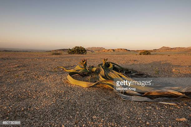 A Welwitschia mirabilis miracle plant growing in the sandy soils in the Namib-Naukluft Park, Namib Desert, Namibia