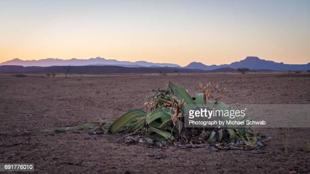 Welwitschia mirabilis, Namib Desert, Namibia