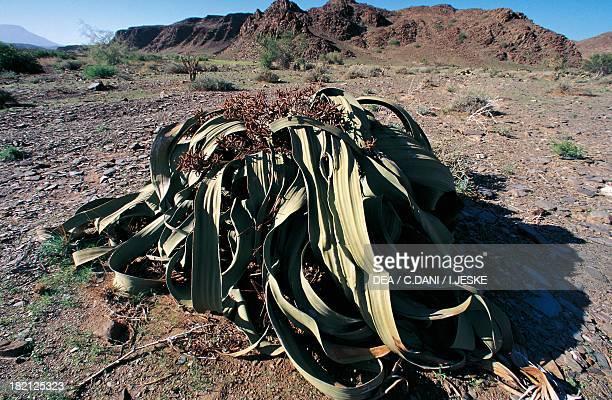 Welwitschia mirabilis Welwitschiaceae Namibia