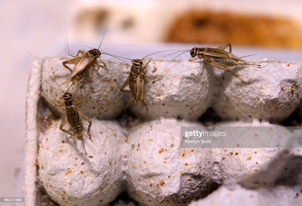 Rocky Mountain Micro Ranch raises insects to be sold to restaurants. : News Photo