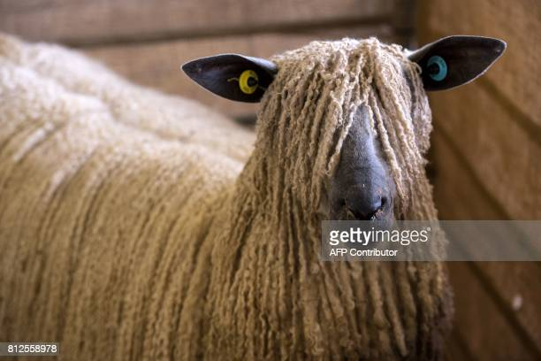 A Wensleydale sheep stands in its pen on the first day of the Great Yorkshire Show near Harrogate in northern England on July 11 2017 The...