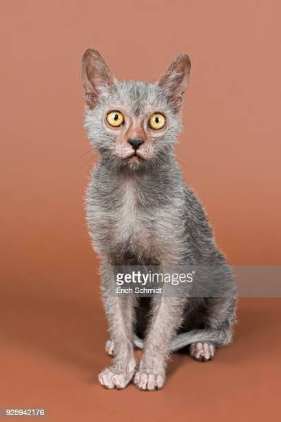 werewolf cat, lykoi, kitten, 6 months, studio shot - ugly cat stock photos and pictures
