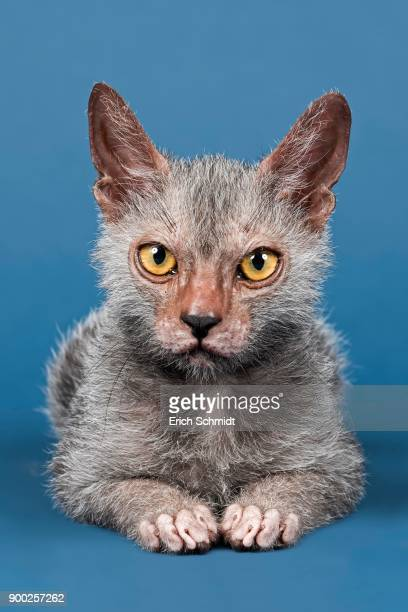 werewolf cat or lykoi cat (felis silvestris catus), kitten, 6 months - ugly cat stock photos and pictures