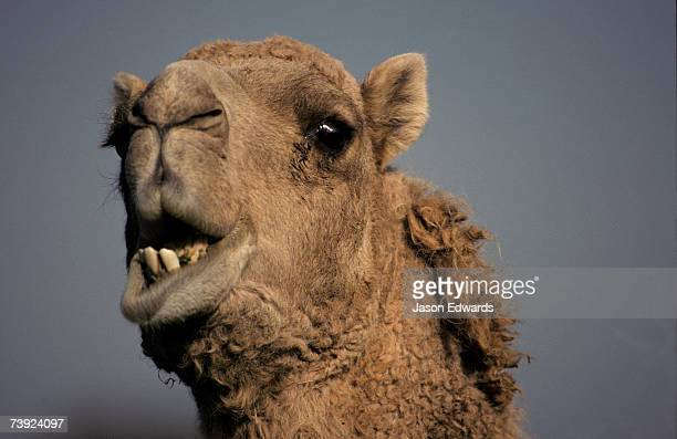 Close-up of a Dromedary Camel feeding and chewing with its mouth open.
