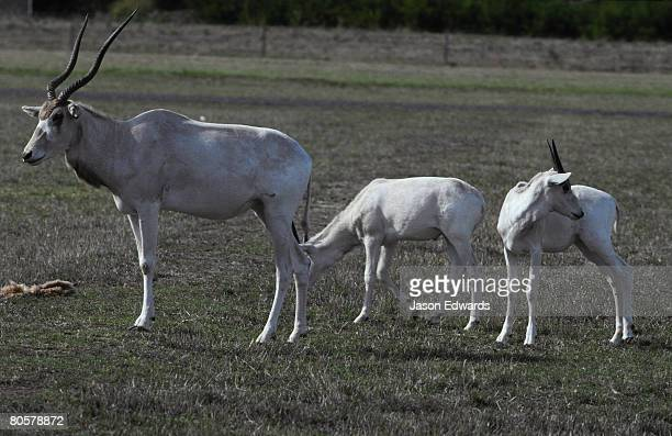 An endangered Addax Antelope adult and two calves graze in a field.