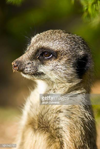 A Meerkat with dirt on it's nose stands alert looking for predators.