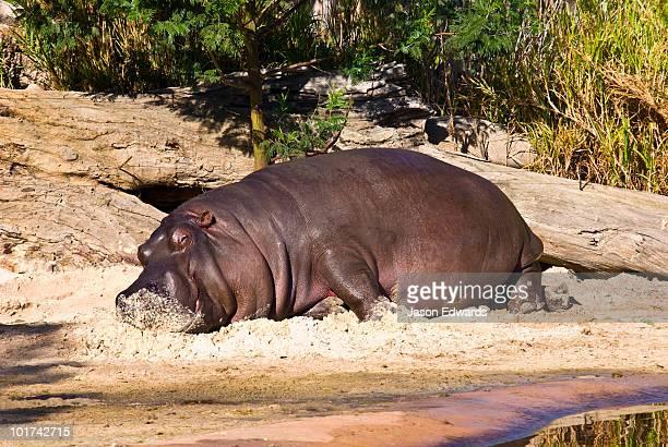 A Nile Hippopotamus lazes in the sun on an artificial sandy riverbank.