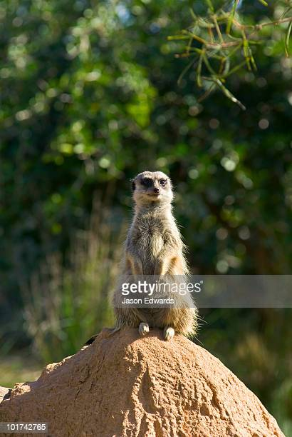 A Meerkat patrols his territory from the summit of a termite mound.