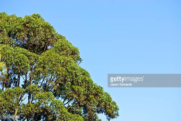 The heavy green canopy of a Sugar Gum, Eucalyptus cladocalyx.
