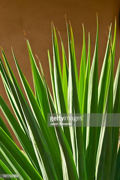Sunlight catching the tough sword-shaped leaves of an ornamental Yucca