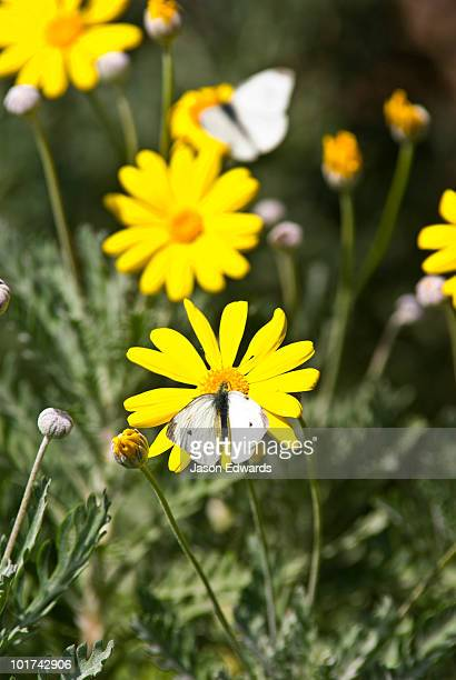 A Cabbage White Butterfly feeding on a yellow daisy in a sunny garden.