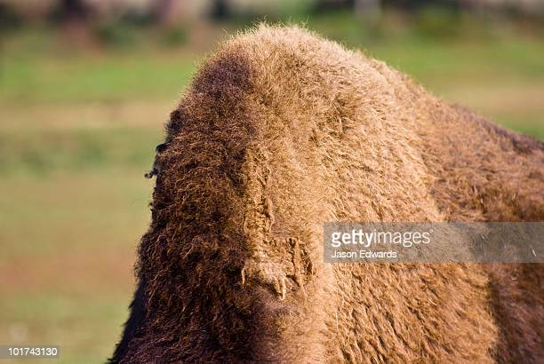 The enormous furred hump of a mature male American Bison.