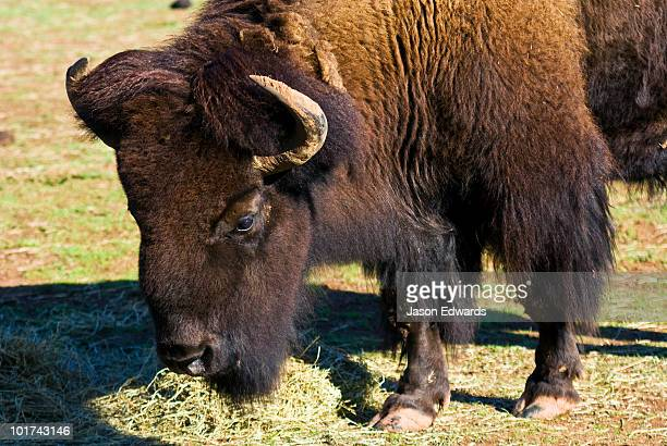 The enormous horns and bearded head of a mature male American Bison.