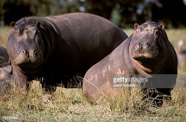 Nile Hippopotamuses resting in the sun on a grass savannah plain.
