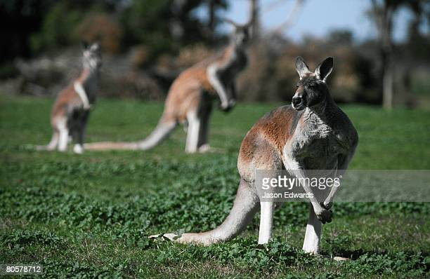 A small mob of grazing Red Kangaroos watch warily on an open plain.