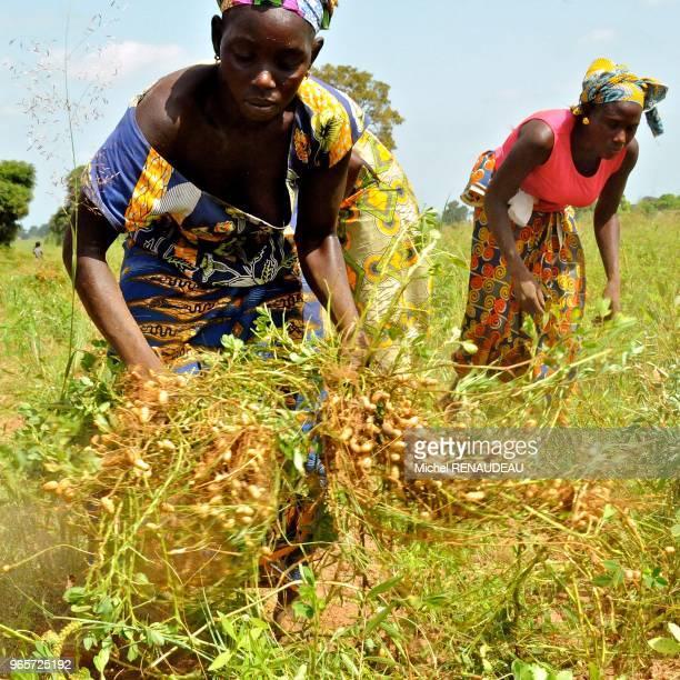West Africa Sine Saloum the peanut harvest Afrique de l'Ouest Sine Saloum recolte de l'arachide
