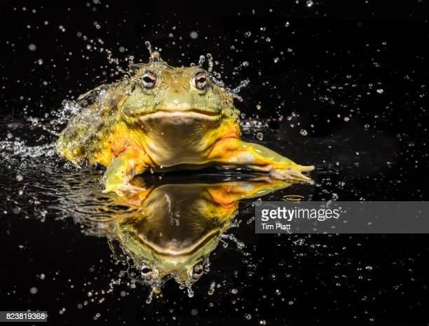 West African Bullfrog