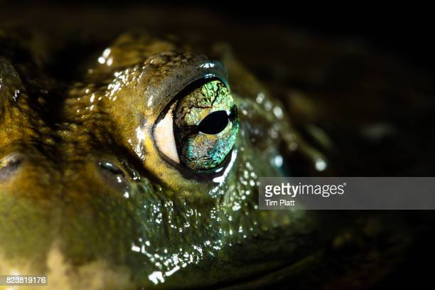 West African Bullfrog's eye.