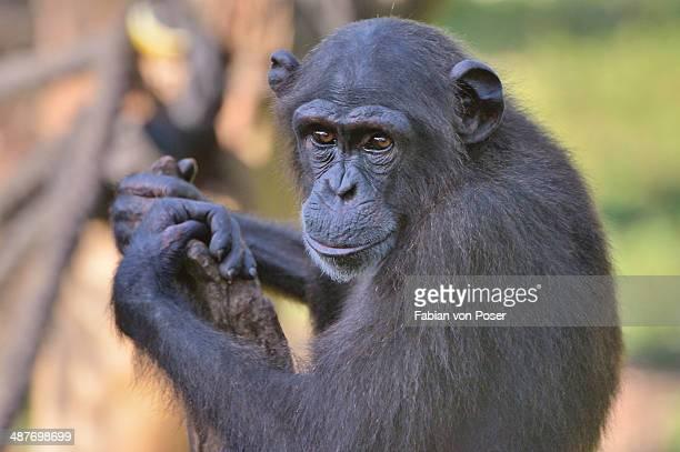 West African Chimpanzee -Pan troglodytes verus-, Tacugama Chimpanzee Sanctuary, Province Western Area Tacugama, Sierra Leone