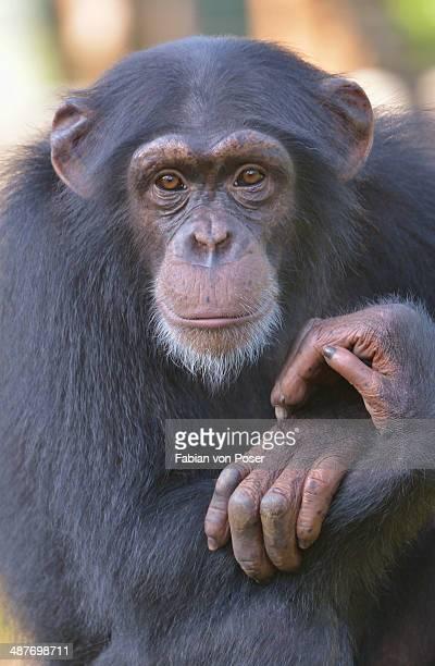 west african chimpanzee -pan troglodytes verus-, tacugama chimpanzee sanctuary, province western area tacugama, sierra leone - sierra leone stock pictures, royalty-free photos & images
