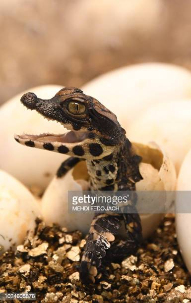 A West African dwarf crocodile hatches from its egg on August 27 at the Planet Exotica zoological and botanical garden in Royan southwestern France...