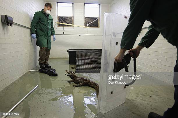 West African Dwarf Crocodile is moved from it's enclosure at Heathrow Airport's Animal Reception Centre on January 25 2011 in London England Many...