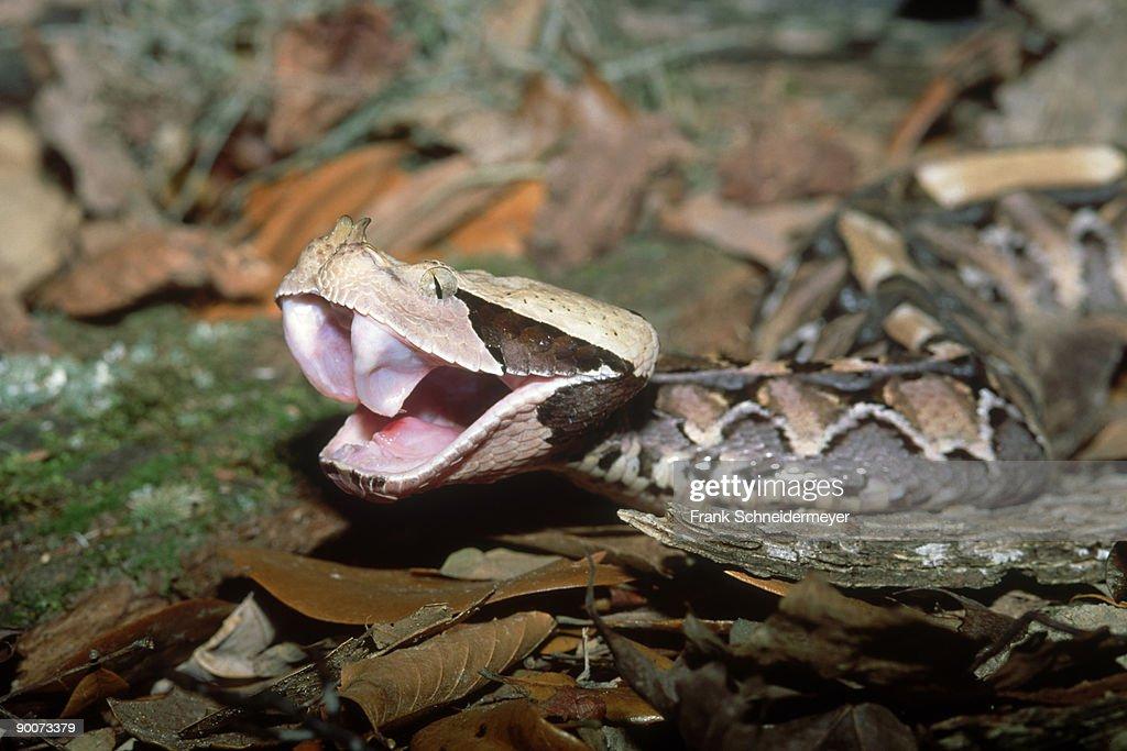 Gaboon Viper Teeth