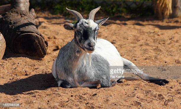 West African Pygmy goat resting in sun. Capra hirc