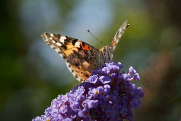 West coast painted lady (Vanessa annabella) butterfly sitting on purple flower branch