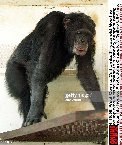 4 16 98  West Covina, California  31-year-old Moe the chimp who