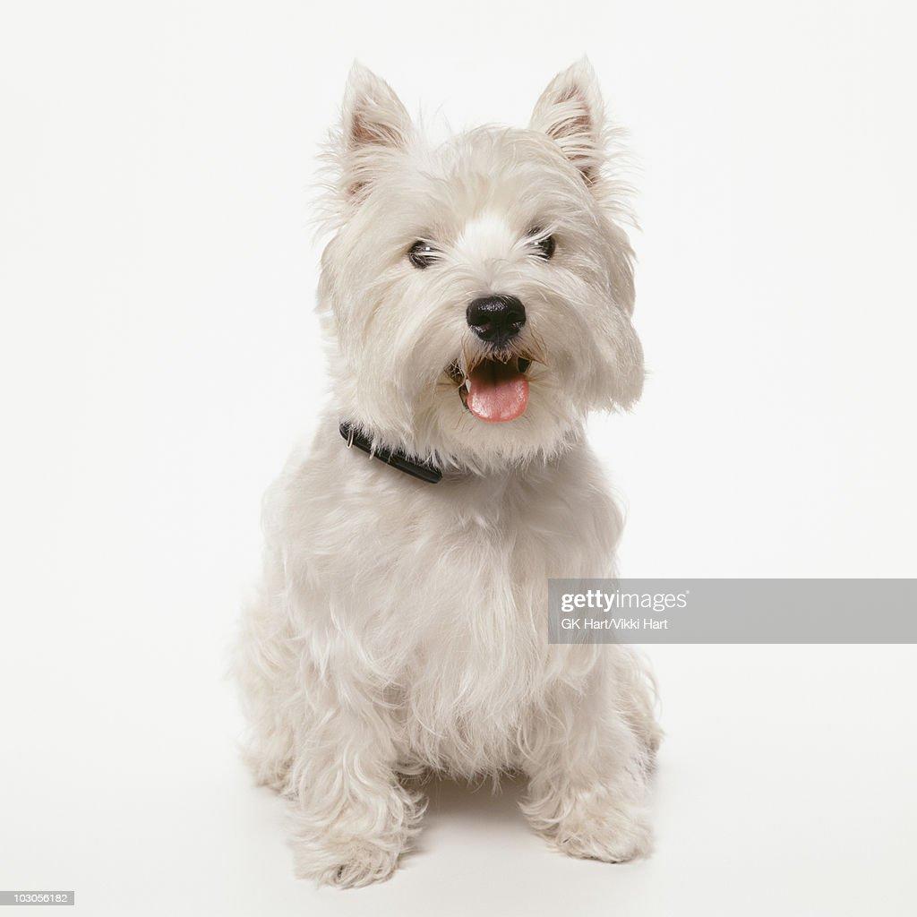 West Highland Terrier Dog Sitting On White Backgro Stock