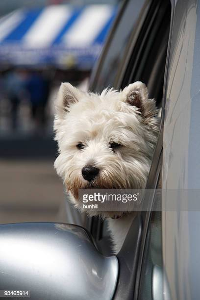 West Highland Terrier Dog With Head Out Of Car Window