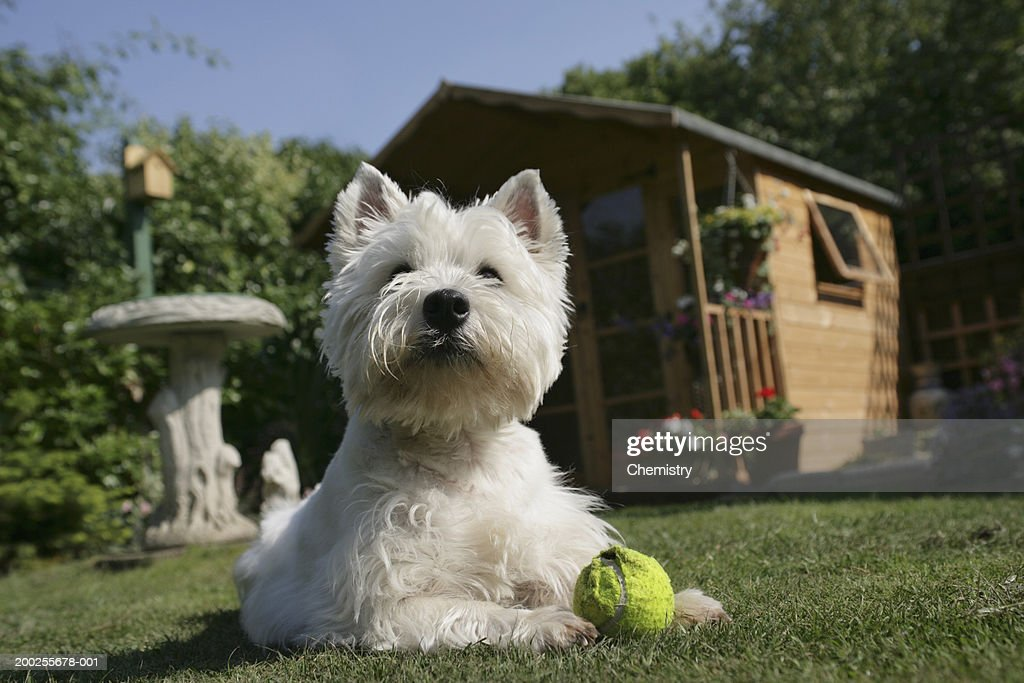 West Highland Terrier lying on grass with ball, ground view : Stock Photo