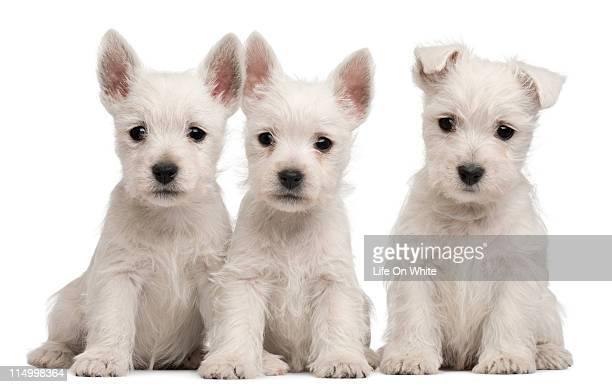 West Highland Terrier puppies (7 weeks old)