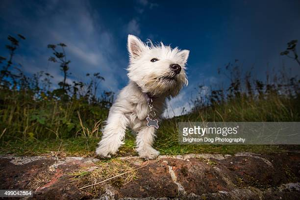 a west highland terrier puppy - harriet stock photos and pictures