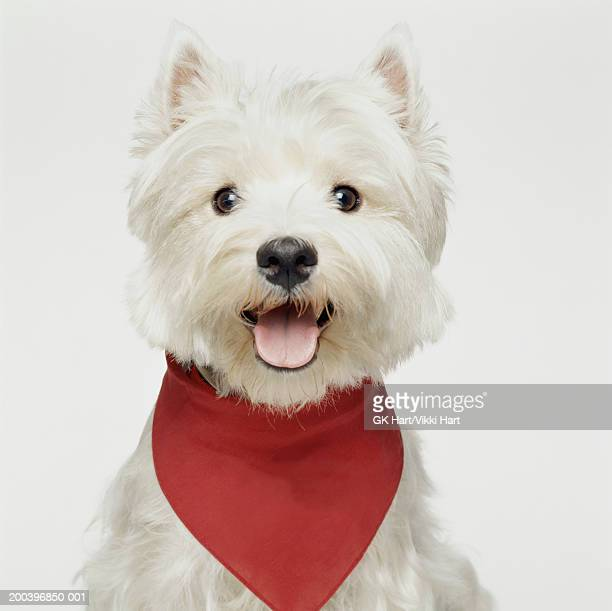 west highland terrier wearing bandana - west highland white terrier stock photos and pictures