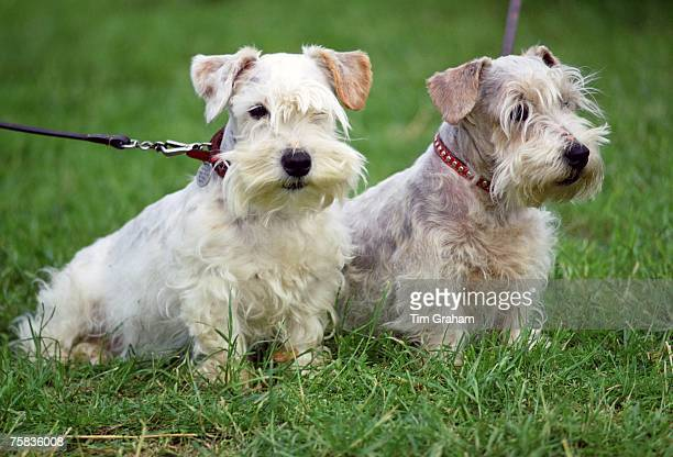 West Highland Terriers, Windsor, England, United Kingdom