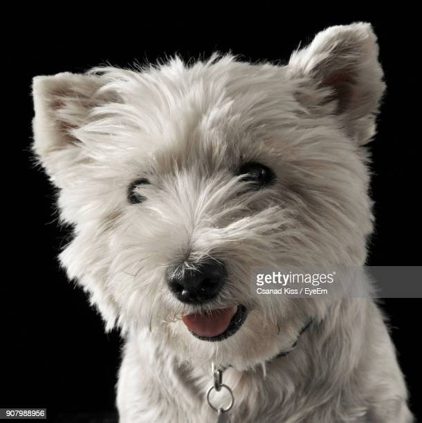 West Highland White Terrier Against Black Background
