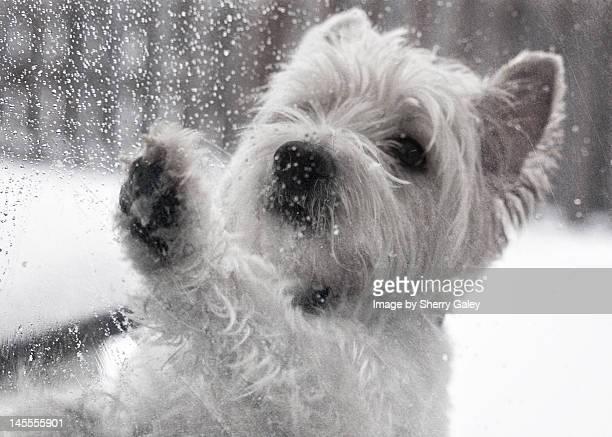 West Highland White Terrier at door in winter