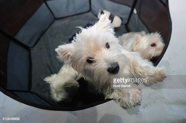 West Highland White Terrier attends the 7th Annual AKC Meet The Breeds at Pier 92 on February 13 2016 in New York City