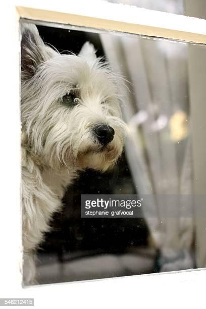 West highland white terrier dog looking through window