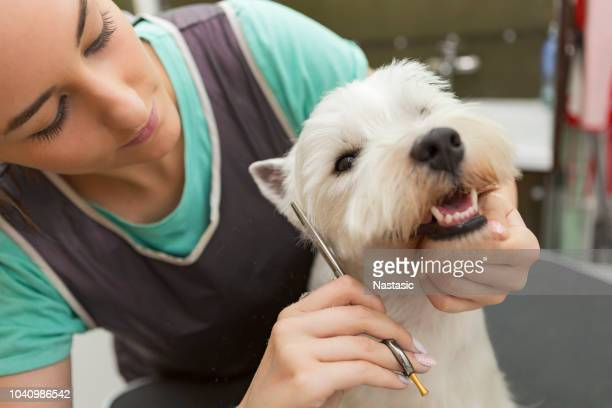 west highland white terrier getting new haircut - groom stock pictures, royalty-free photos & images
