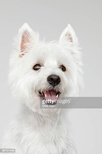 West Highland White Terrier head portrait