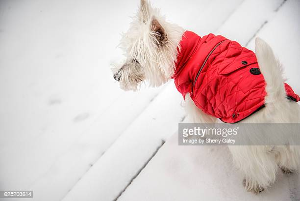 west highland white terrier in red down jacket - coat stock pictures, royalty-free photos & images