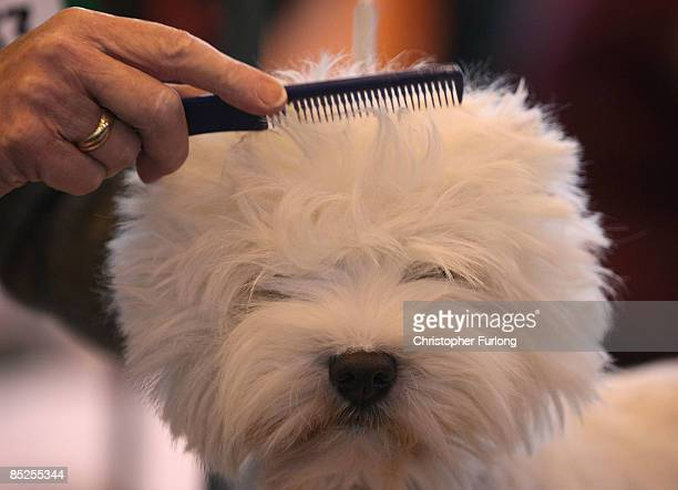 West Highland White Terrier is groomed before showing on the first day of the annual Crufts dog show at the National Exhibition Centre on March 5...