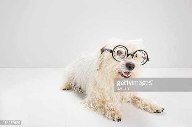 west highland white terrier, mixed breed, studio - horn rimmed glasses stock pictures, royalty-free photos & images