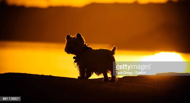 west highland white terrier on field during sunset - west highland white terrier stock photos and pictures