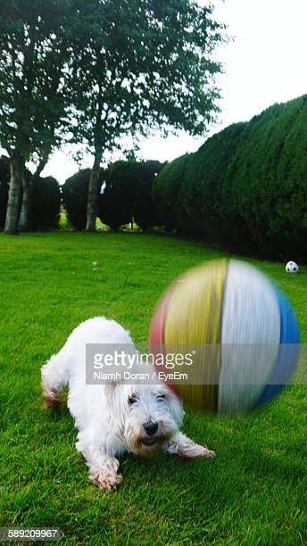 west highland white terrier playing with ball on grass in park - hairy balls stock photos and pictures