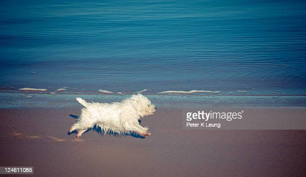 West highland white terrier running on beach